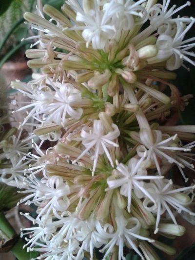 Blumen Drazena.