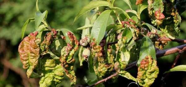 Болезни яблони: описание и способы их лечения, меры борьбы ...