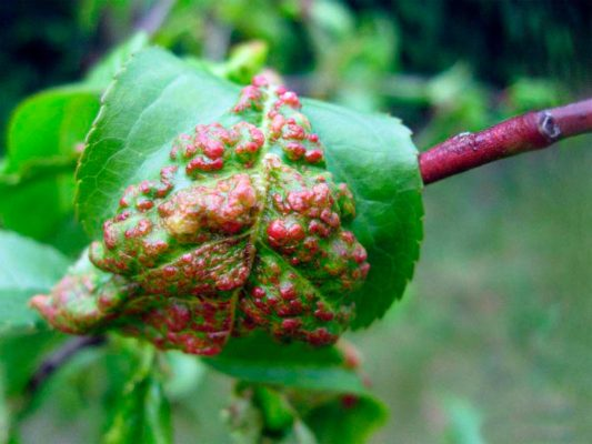 Персик Золотой юбилей: описание сорта + фото, отзывы