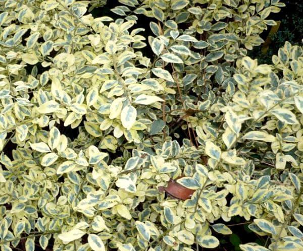 Ligustrum sinense variegata