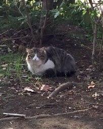 某公園に住む数匹の猫のうちの一匹。スコティッシュ風です。