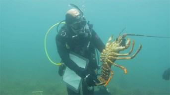 Researcher holding a lobster, Maria Island ©James Sherwood - Bluebottle Films