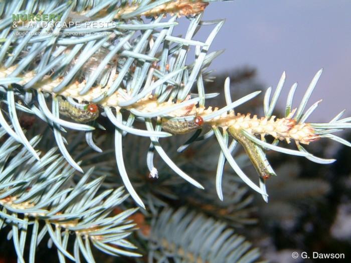 "<a href=""/clm/species/pikonema_alaskensis""><em>Pikonema alaskensis</em></a> (Yellowheaded Spruce Sawfly) larva."