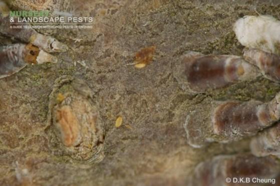 """<a href=""""/clm/species/lepidosaphes_ulmi""""><em>Lepidosaphes ulmi</em></a> (Oystershell Scale) crawler on willow."""