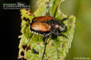 "<a href=""/clm/species/popillia_japonica""><em>Popillia japonica</em></a> (Japanese Beetle) adult."