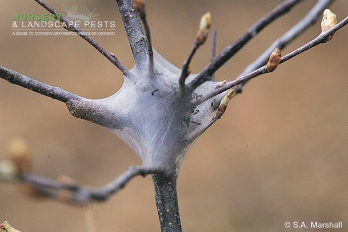 """<em><a href=""""/clm/species/malacosoma_americanum"""">Malacosoma americanum</em></a> (Eastern Tent Caterpillar) web nest."""