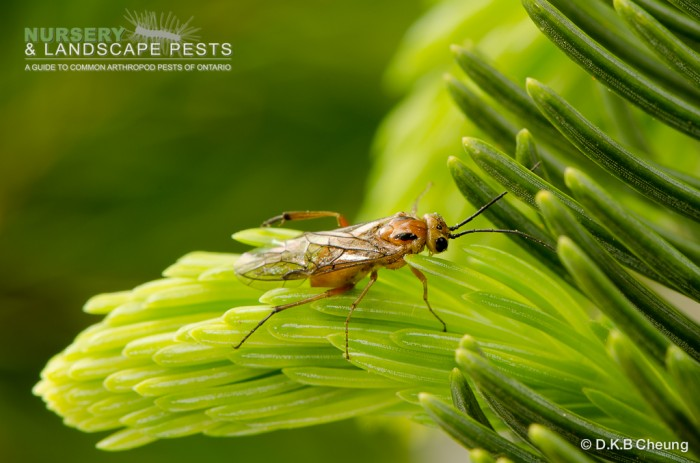 "<a href=""/clm/species/pikonema_alaskensis""><em>Pikonema alaskensis</em></a> (Yellowheaded Spruce Sawfly) adult laying eggs."