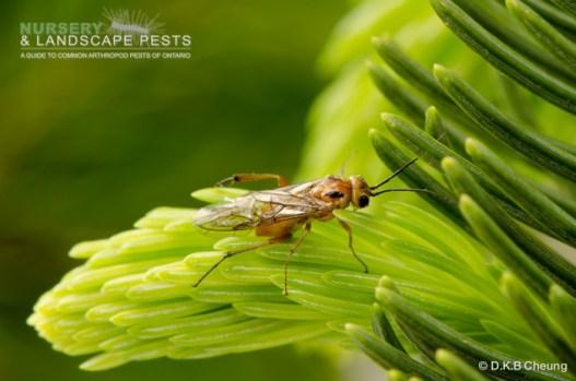 "<a href=""/clm/species/pikonema_alaskensis""><em>Pikonema alaskensis</em></a> (Yellowheaded Spruce Sawfly) adult laying eggs."
