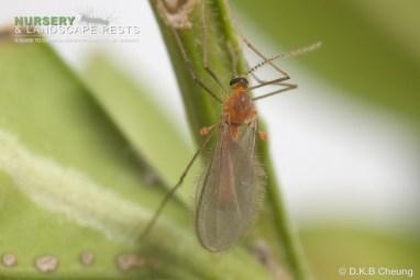 """<a href=""""/clm/species/monarthropalpus_buxi""""><em>Monarthropalpus buxi</em></a> (Boxwood Leafminer) adult."""