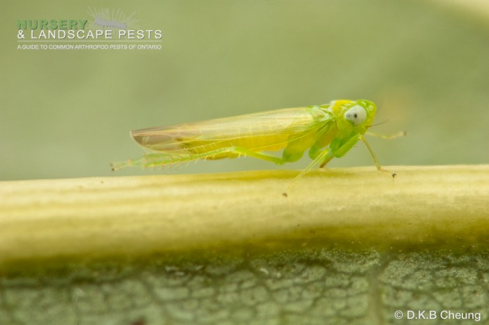 """<a href=""""/clm/species/empoasca_fabae""""><em>Empoasca fabae</em></a> (Potato Leafhopper) adult."""