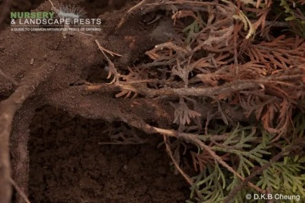 "<a href=""/clm/species/amphimallon_majalis""><em>Amphimallon majalis</em></a> (European Chafer) larval damage on cedar."