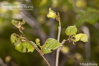 "<a href=""/clm/species/thrips_calcaratus""><em>Thrips calcaraus</em></a> (Introduced Basswood Thrips) damage."