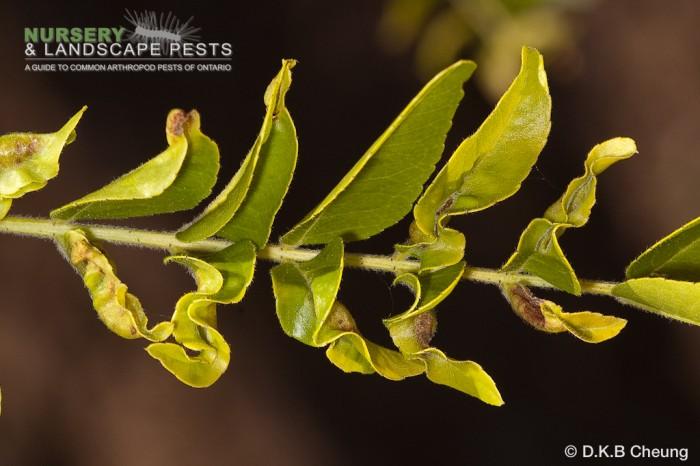 """<a href=""""/clm/species/dasyneura_gleditschiae""""><em>Dasyneura gleditschiae</em></a> (Honey Locust Pod Gall Midge) galls."""