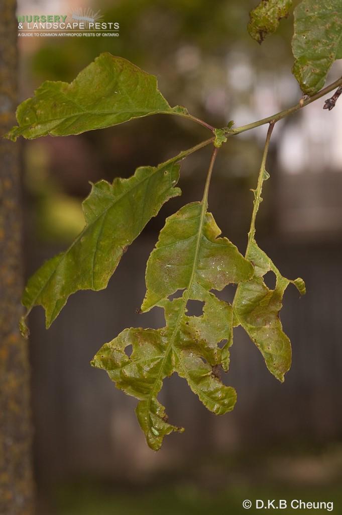 """<em><a href=""""/clm/species/malacosoma_disstria"""">Malacosoma disstria</em></a> (Forest Tent Caterpillar) damage."""