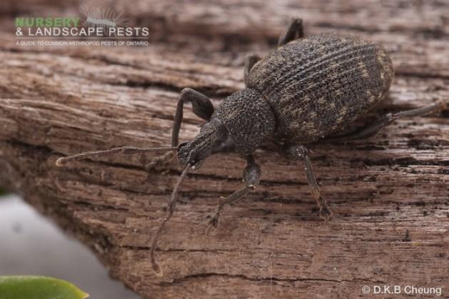 "<a href=""/clm/species/otiorhynchus_sulcatus""><em>Otiorhynchus sulcatus</em></a> (Black Vine Weevil) adult."