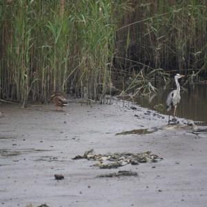 鹿児島県姶良市加治木町の干潟で出会ったマガモのエクリプス(中央)