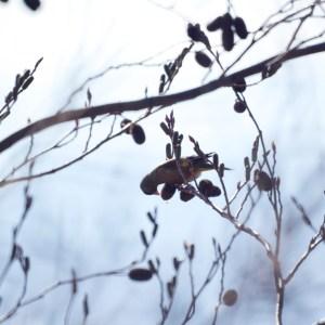 ハンノキの実を懸命に食べるカワラヒワ