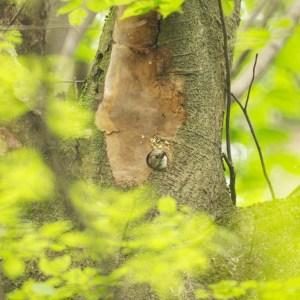 巣穴から顔を出すコゲラ