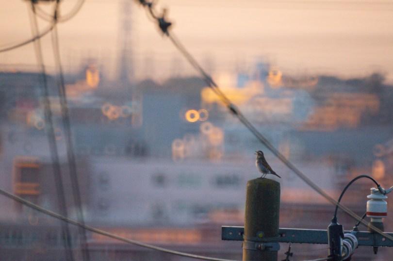 電柱で鳴くツグミ