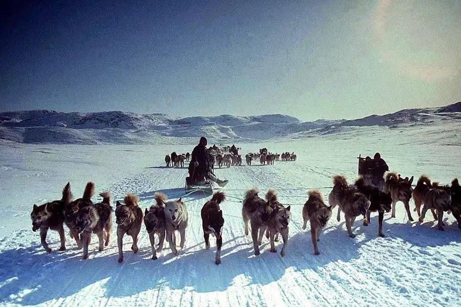 عربة يجرها كلاب الاسكيمو