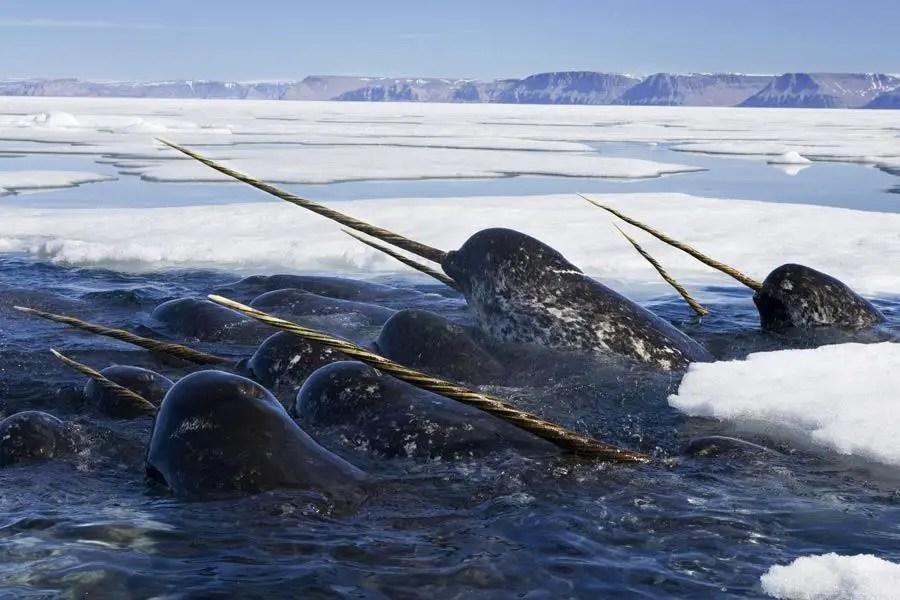 الحوت الوحيد القَرن