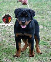 dkv-rottweilers-rottweiler-puppies-for-sale-esi-von-der-korperkraft (5)