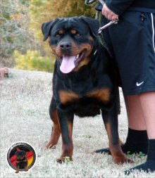 dkv-rottweilers-rottweiler-puppies-for-sale-gypsy-von-der-korperkraft-16