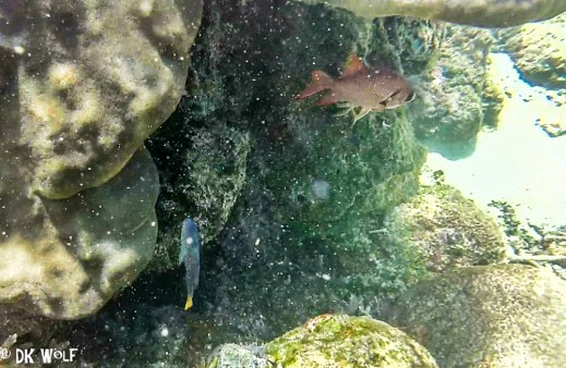 right: Crimson Soldierfish (Myripristis murdjan), Left: Philippine Damsel (Pomacentrus philippinus)