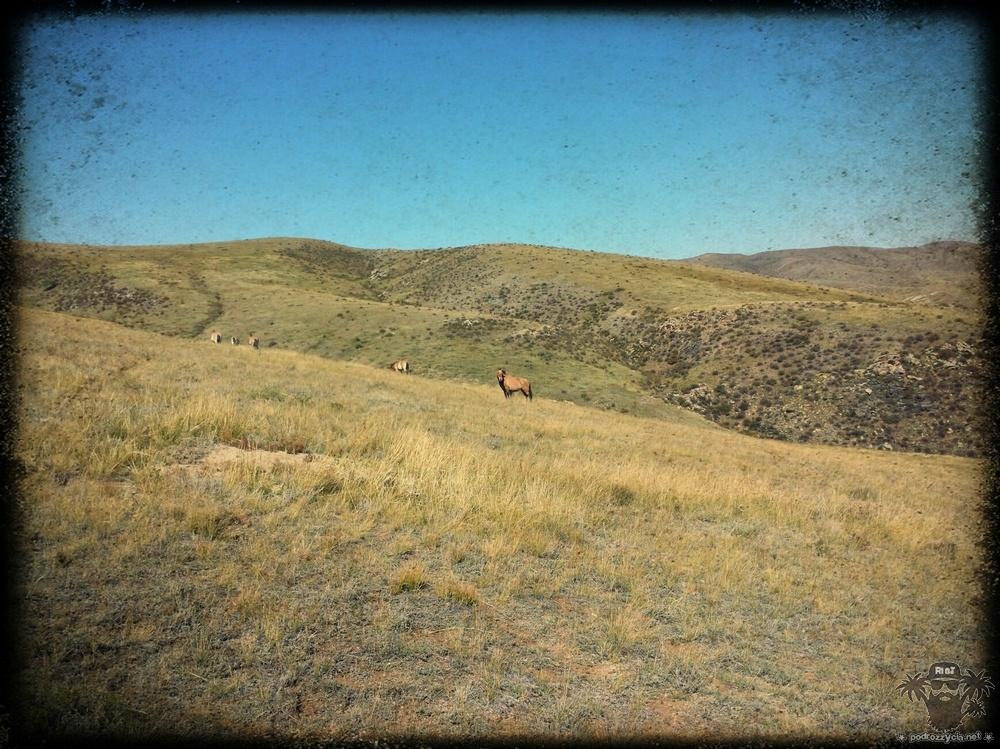 Konie Przewalskiego, Mongolia