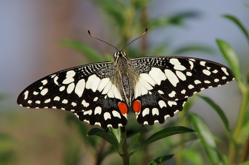 Chequered Swallowtail Papilio Demoleus Male