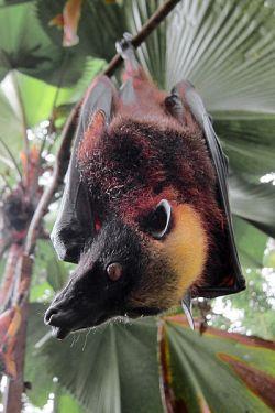 bumblebe--bat