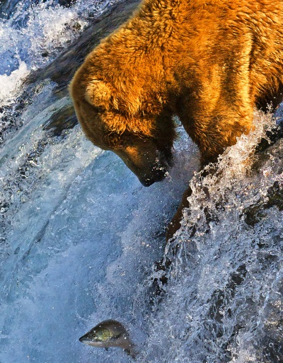 BearFishingSalmon