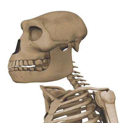 Australopithecus-skeleton