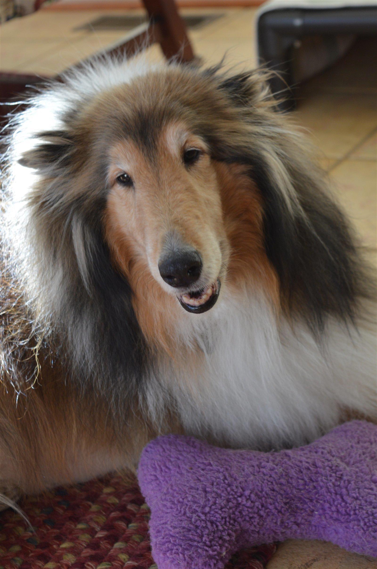 Dog For Adoption Lassie Near Chantilly Va Petfinder