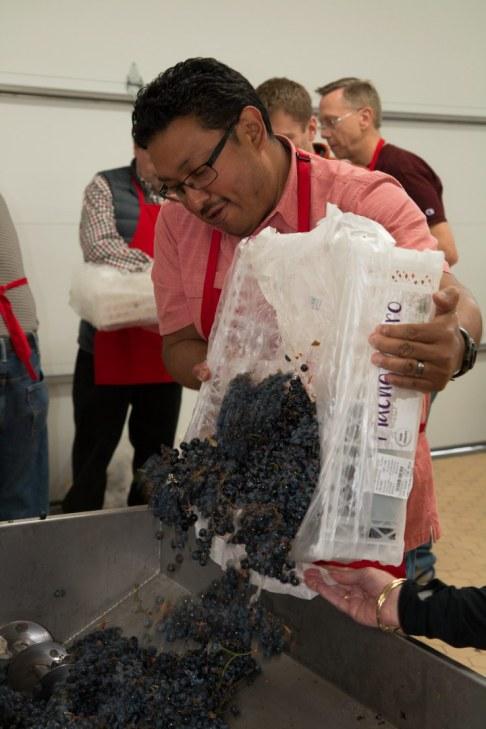 Hilarion Amaro loading grapes to be destemmed and crushed