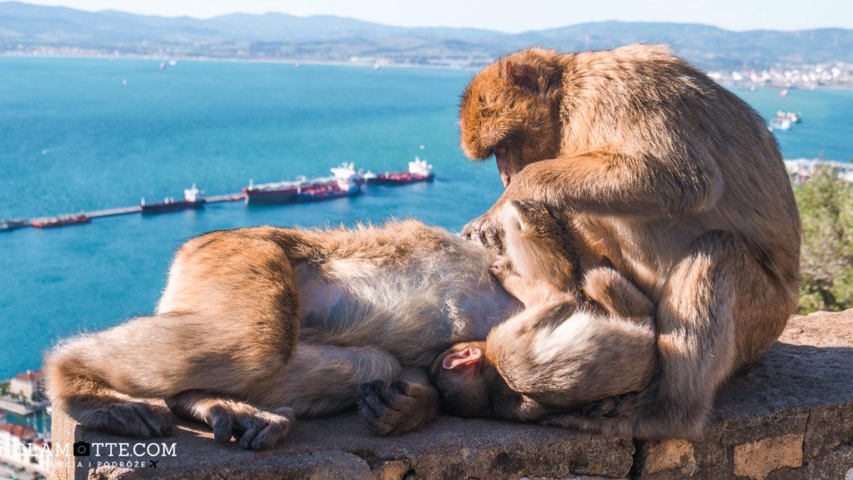 małpy makaki Gibraltar