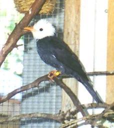 White Head Black Bulbul
