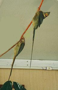 "Red Face Mousebirds doing the ""hang"""