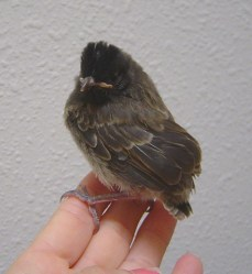Red Vent Bulbul Chick