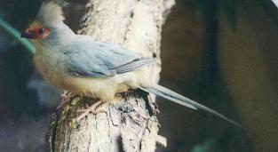 Red Face Mousebird