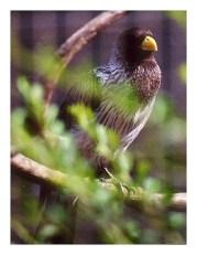 Western Grey Turaco (zoo bird pictured)