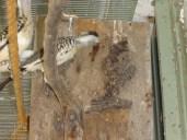 Red Bill Hornbill (male) feeding female in box
