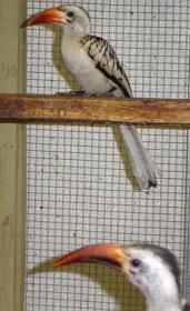 Red Bill Hornbill Pair (female top)