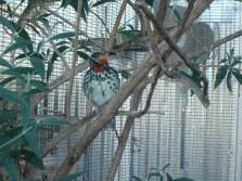 Black Spotted Barbet (female)