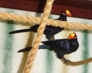 Violet Turacos