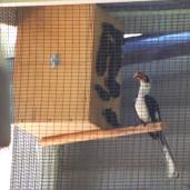 Von der Deckin Hornbill (male) at nestbox