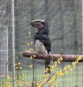Trumpeter Hornbill (male)