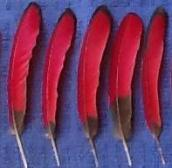 Turaco Wing Feathers