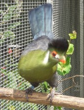 White Cheek Turaco