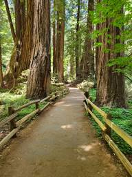 pathway through redwoods with wooden fence